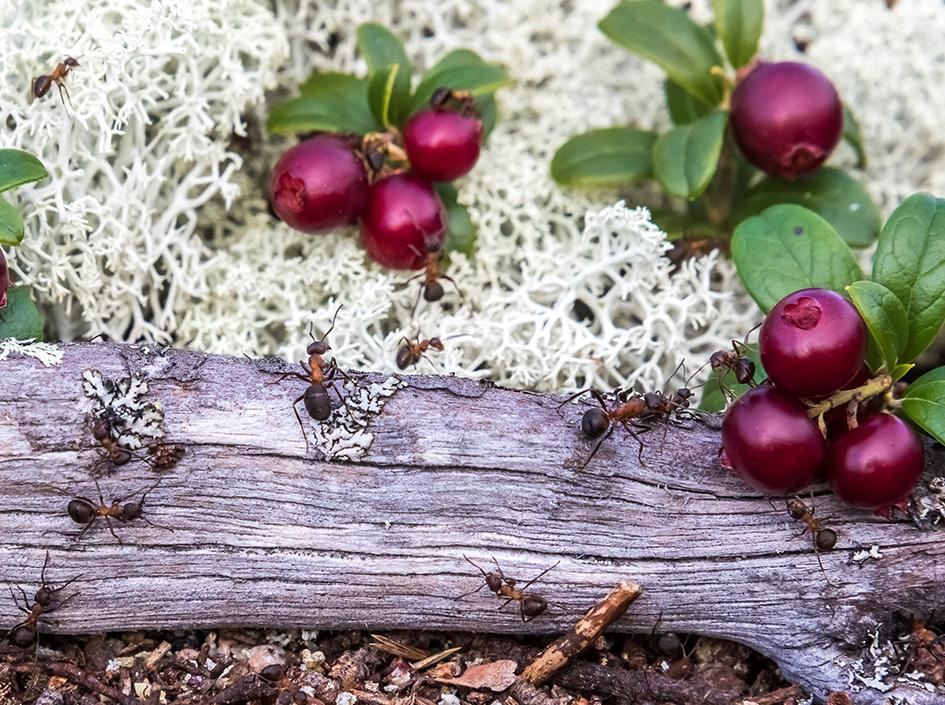 Muurahaiset (12 palaa)